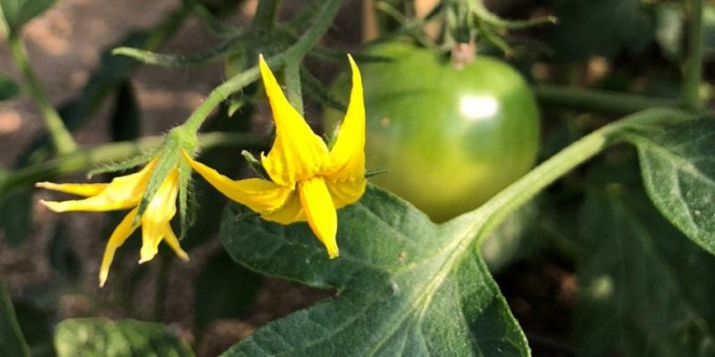 tomato life envision